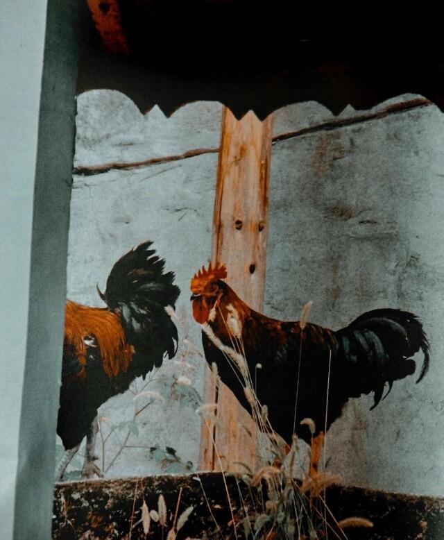 Петушки в Гуйчжоу. Фотограф Джек Дэвисон