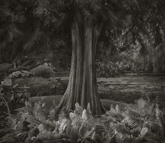 Дерево в саду в Уилтшире. Бет Доу