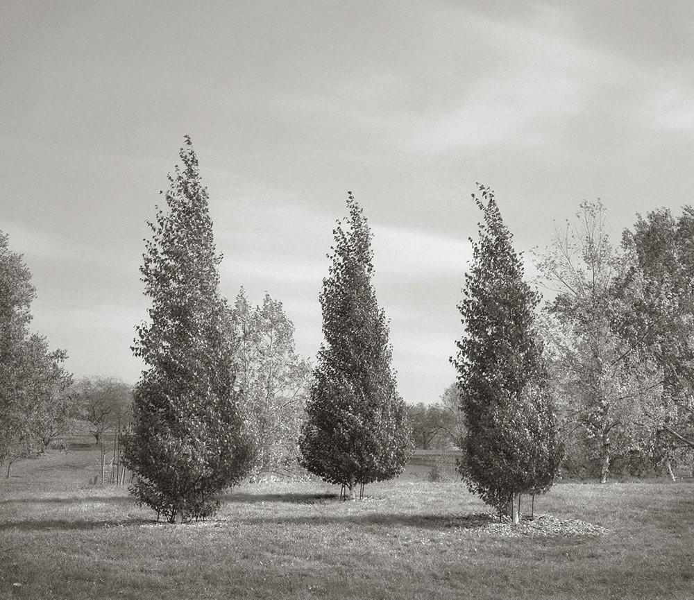 Три тополя, Миннесотский ландшафтный дендрарий. Бет Доу