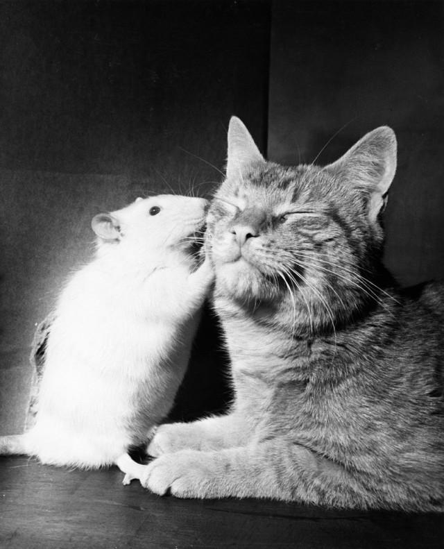 Кошка и белая крыса, 1964. Фотограф Уолтер Чандоха
