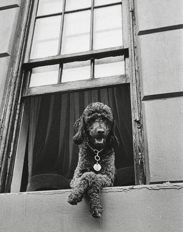 Собака в окне, 79-я улица, Нью-Йорк, 1952. Фотограф Тодд Уэбб