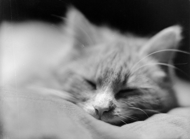 Уснувший кот, 1929 год. Фотограф Чалонер Вудс