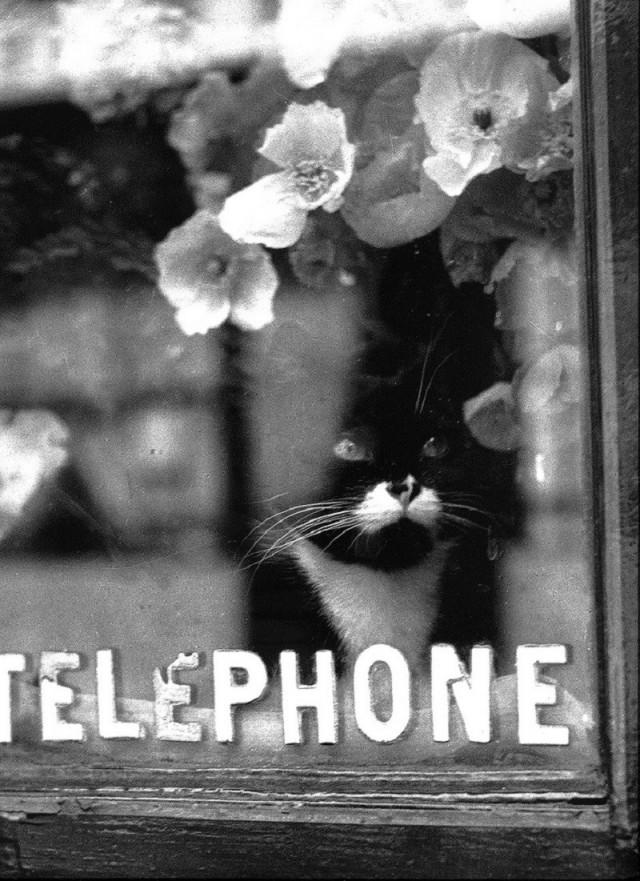 Кот флориста, Париж, ок. 1938. Фотограф Брассаи