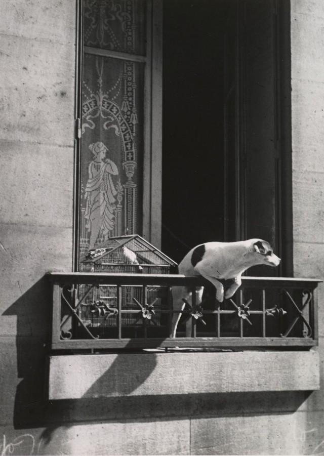 «Собака консьержа». Париж, 1929. Фотограф Андре Кертес