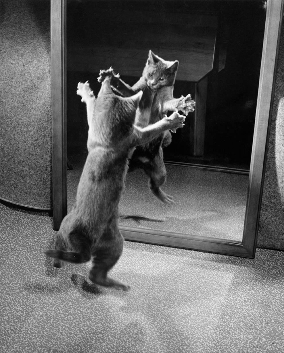 Кот играет со своим отражением в зеркале, 1964. Автор Уолтер Чандоха