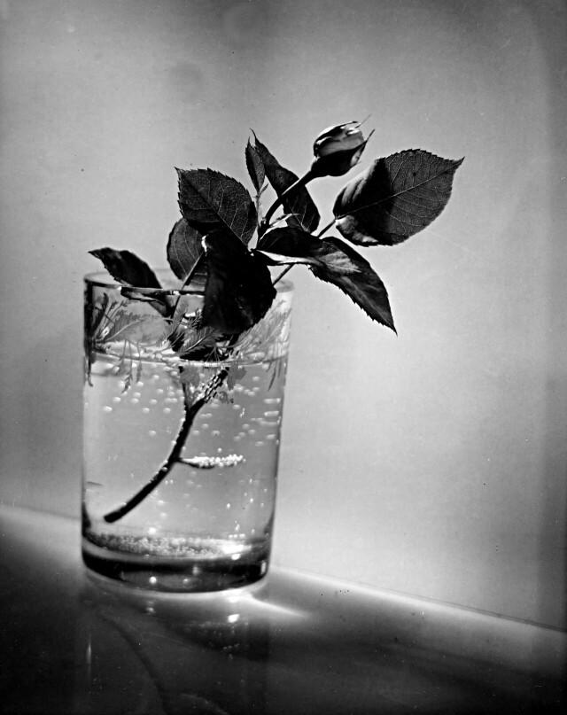 Бутон розы. Фотограф Йозеф Судек