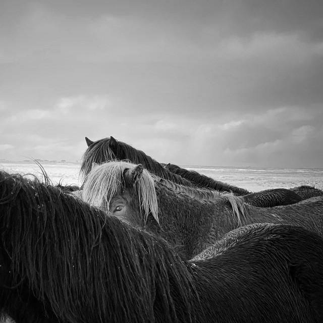 1 место в категории «Животные», 2020. Лошади в бурю, Исландия. Автор Сяоцзюнь Чжан