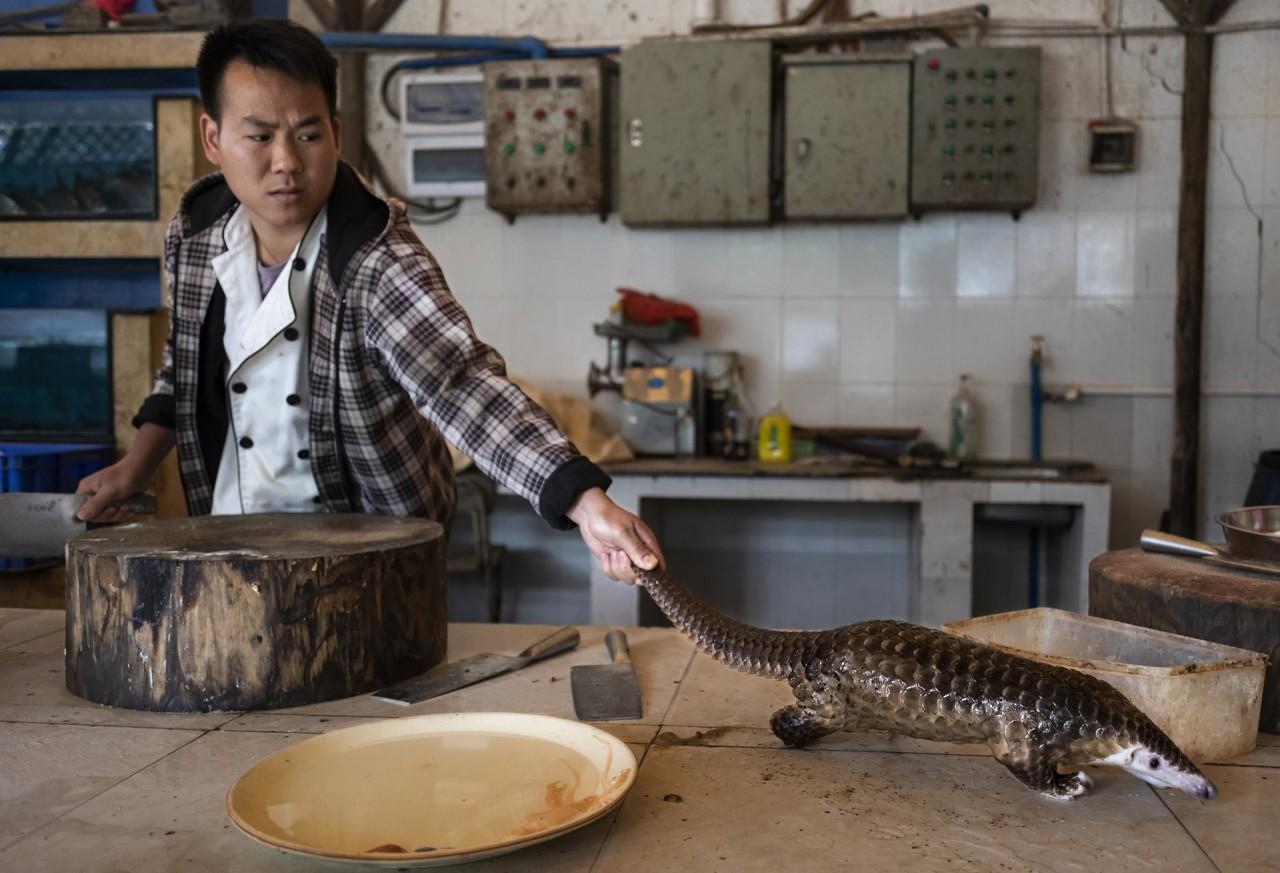 2 место в категории «Природа», фотосерия, 2020. Мужчина тянется к панголину, которого собирается убить и приготовить в ресторане на окраине Гуанчжоу, Китай. Автор Брент Стиртон