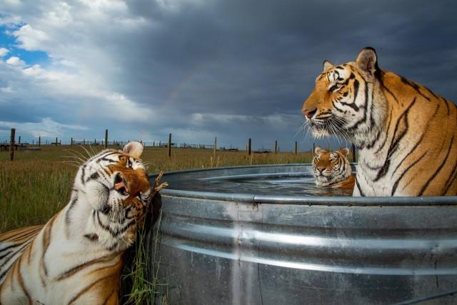 2 место в категории «Современные проблемы», фотосерия, 2020. Тигры освежаются в бассейне в заповеднике диких животных в Кинсбурге, штат Колорадо, США. Автор Стив Винтер