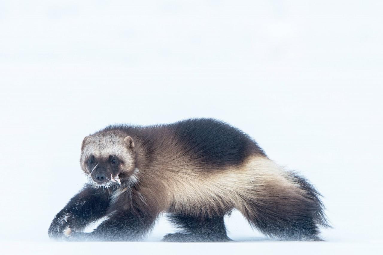 3 место в категории «Природа», фотосерия, 2020. Росомаха сквозь метель на Аляске, США. Автор Питер Мазер