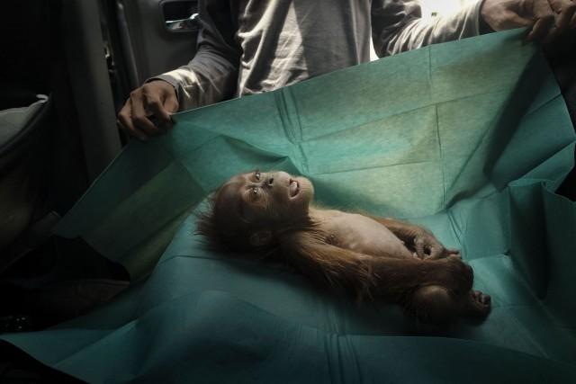 1 место в категории «Природа», 2020. Орангутан, умерший вскоре после того, как его с раненой матерью нашли на пальмовой плантации в Индонезии. Автор Ален Шредер
