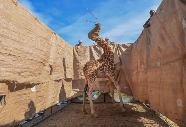 1 место в категории «Природа», 2021. Жирафа перевозят с затопленного острова в безопасное место на специально построенной барже, озеро Баринго, Кения, 3 декабря 2020 года. Автор Ами Витале