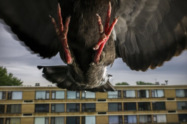1 место в категории «Природа», серия, 2021. Голубь, подружившийся с семьёй фотографа во время карантина из-за пандемии. Нидерланды, 18 апреля 2020 года. Автор Джаспер Доэст