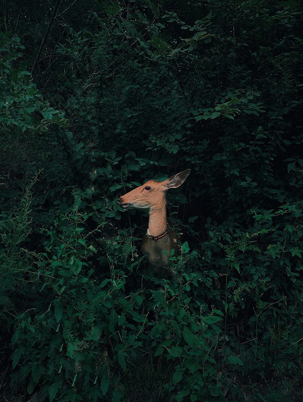 Победитель в категории «Природа и дикие животные», 2020. «Олень, прячущийся в лесу». Автор Цзянь Цуй