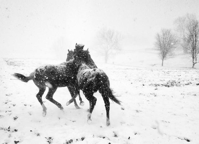 Победитель в категории «Чёрно-белое фото», 2020. «Лошадиные игры». Автор Алессандра Манзотти