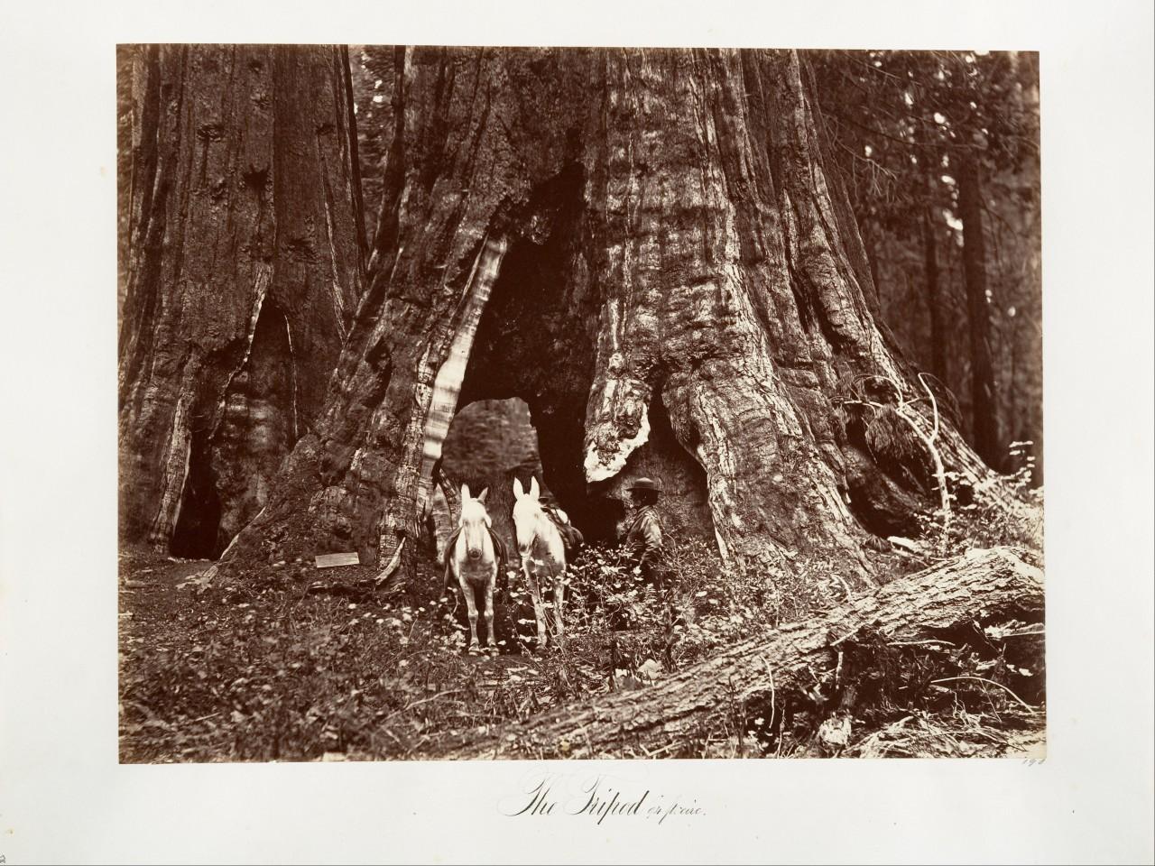 Почти 29 метров в окружности, 1865–66. Автор Карлтон Э. Уоткинс