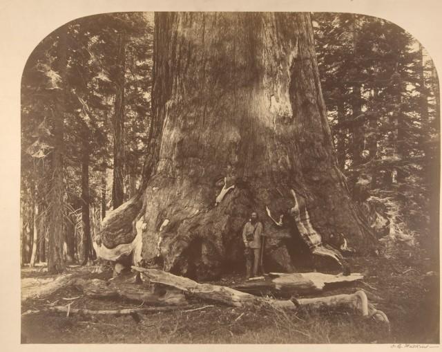 Роща гигантских секвой Марипоса, парк Йосемити, Калифорния, США, 1861. Автор Карлтон Э. Уоткинс