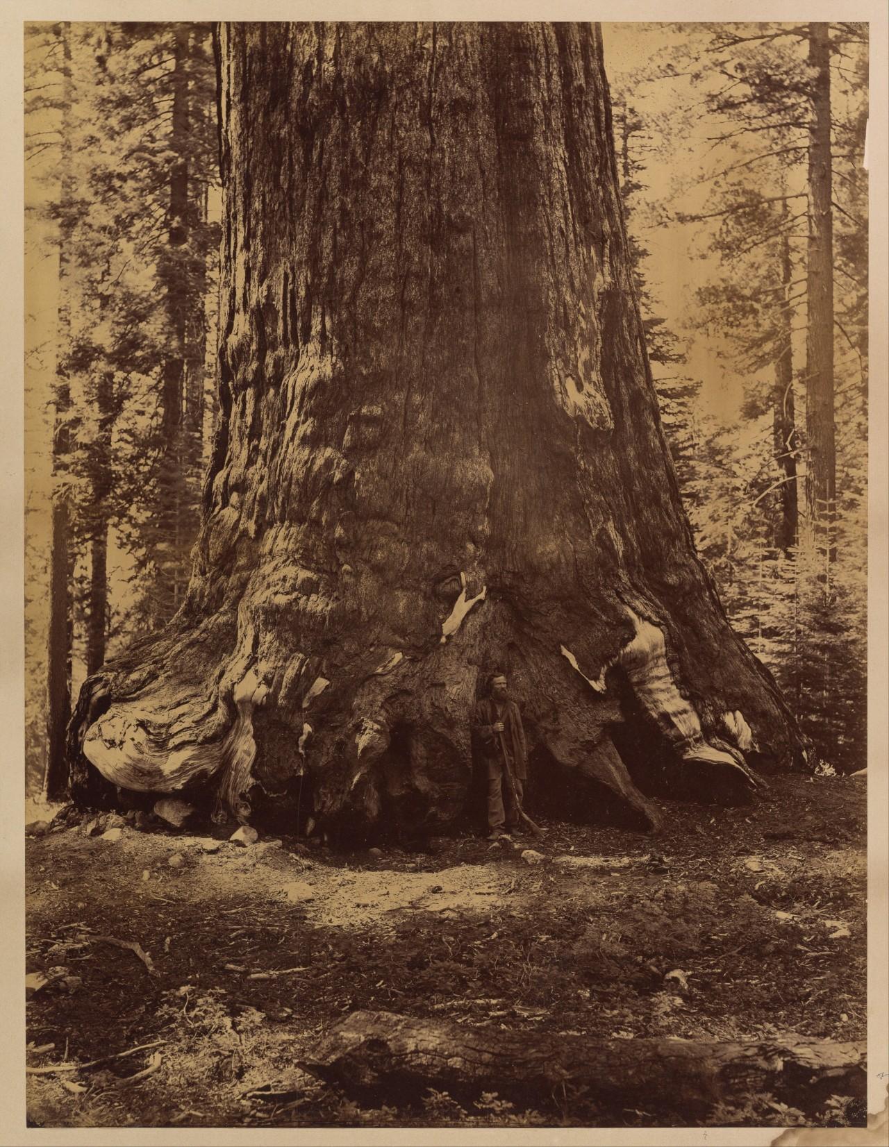 Среди гигантских секвой в роще Марипоса, Йосемити, Калифорния, США, 1865–66. Автор Карлтон Э. Уоткинс