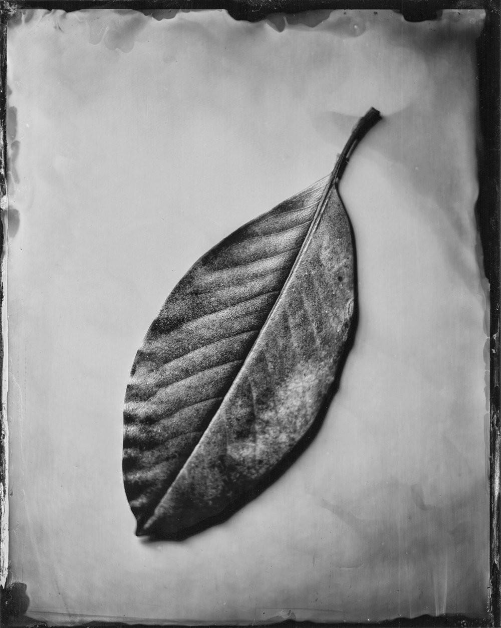Поощрительная премия, 2019. «Лист магнолии крупноцветковой». Автор Майкл Марано