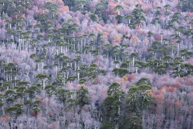 Поощрительная премия в категории «Растения и грибы», 2020. Араукарии и оттенки осени в Чили. Автор Андреа Поцци