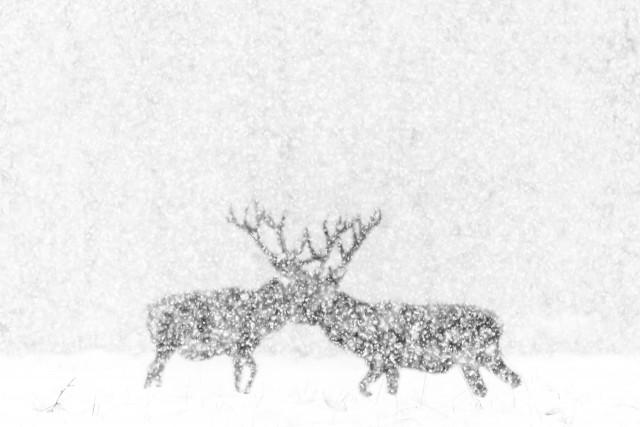Поощрительная премия в категории «Чёрно-белое фото», 2020. «Благородные олени в белом». Автор Кевин Бергманс