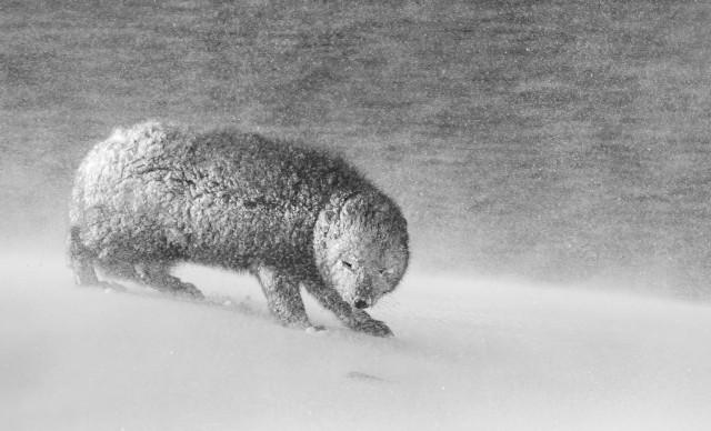 Поощрительная премия в категории «Чёрно-белое фото», 2020. Песец в метель на крайнем северо-западе Исландии. Автор Дэвид Гиббон