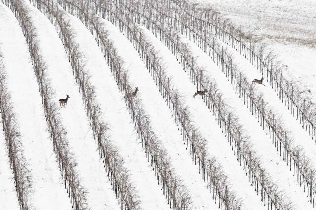 2 место в категории «Человек и природа», 2020. Группа косуль, скачущих по винограднику в Италии. Автор Станислао Базилео