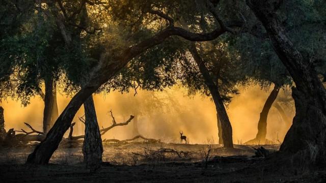 Поощрительная премия в категории «Млекопитающие», 2020. «Импала в золотистом свете». Национальный парк Мана-Пулс, Зимбабве. Автор Артур Станкевич