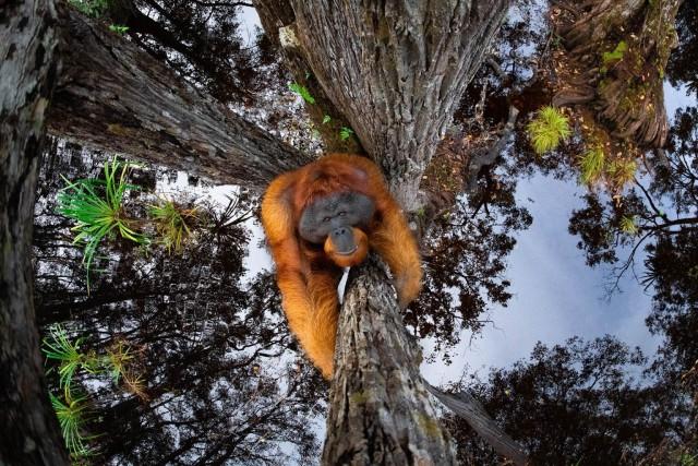 Поощрительная премия в категории «Млекопитающие», 2020. Орангутан на Борнео. Автор Томас Виджаян