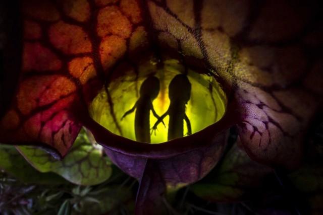 1 место в категории «Другие животные», 2020. «Природная ловушка». Саррацения пурпурная поглотила двух мелких саламандр. Автор Саманта Стивенс
