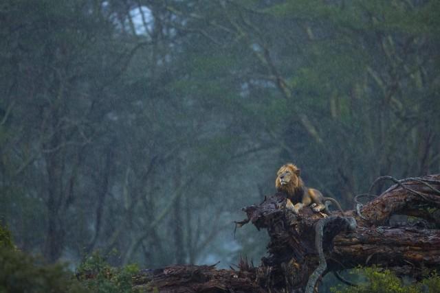 Поощрительная премия в категории «Млекопитающие», 2020. «Небесный душ». Лев в национальном парке Озеро Накуру, Кения. Автор Нилутпаул Баруа