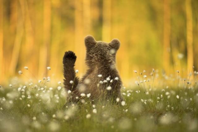 Поощрительная премия в категории «Портреты животных», 2020. Медведь в Финляндии. Автор Амит Эшель