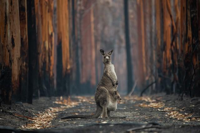 1 место в категории «Человек и природа», 2020. «Надежда в сгоревшем лесу». Австралия. Автор Джо-Энн МакАртур