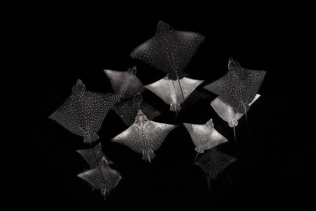 1 место в категории «Чёрно-белое фото», 2020. Пятнистые орляки. Автор Хенли Спайерс