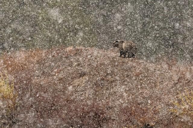 Победитель в категории «Млекопитающие». В снегу. Автор Стефано Квирини