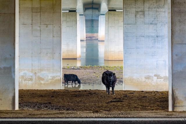 Победитель в категории «Пейзажи низменностей». Галловейскте коровы под мостом. Автор Карин де Йонге