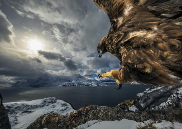 2 место в категории «Птицы». Посадка беркута. Автор Аудун Рикардсен
