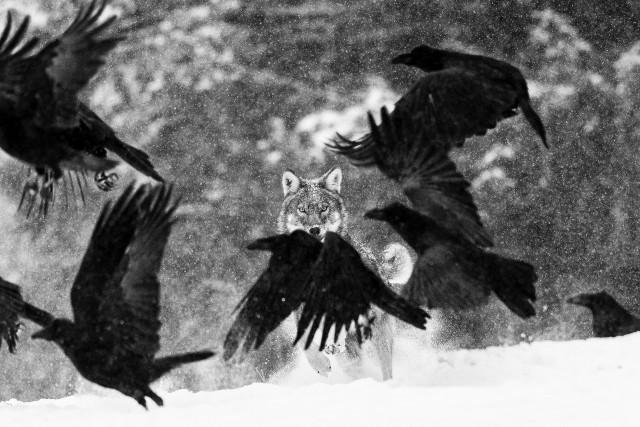 Поощрительная премия в категории «Млекопитающие». Нападение волка. Автор Мартин Стинхаут