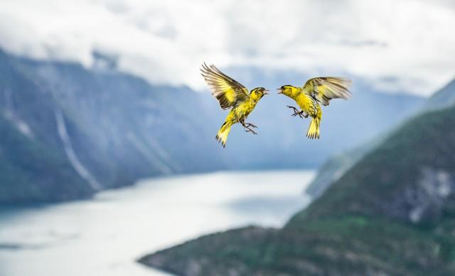 Поощрительная премия в категории «Птицы». Спор над фьордом. Автор Бернт Остус