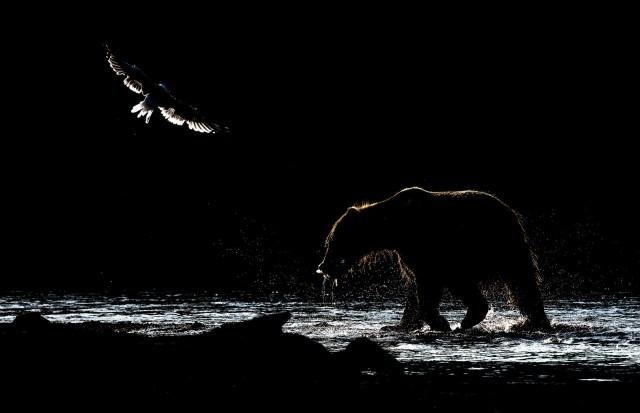 Финалист в категории «Дикие животные», 2020. «В низком ключе». Медведь с рыбой на Курильском озере, Камчатский край. Автор Владимир Кушнарев