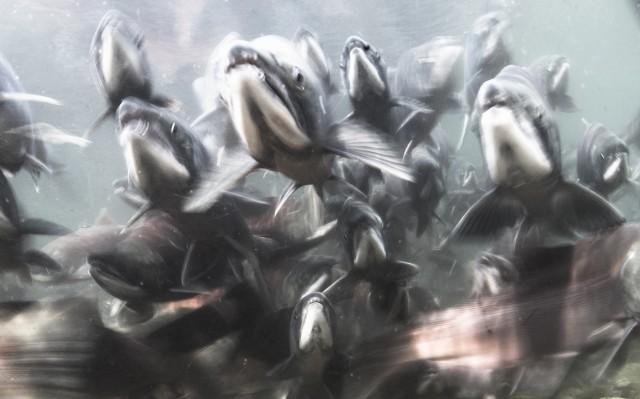 Номинация «Подводный мир», 2019. «Нерест». Южно-Камчатский Федеральный Заказник им. Тихона Шпиленка, Курильское Озеро. Автор Михаил Коростелёв