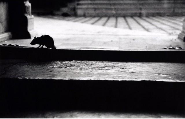 В храме Карни Мата, где проживает более 25 000 крыс. Раджастхан, Индия. Автор Уолтер Ротуэлл