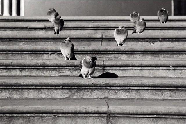 Голуби на ступенях Британского музея, Лондон. Автор Уолтер Ротуэлл