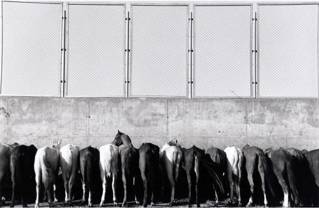 Лошади у пирамид Гизы, Египет. Автор Уолтер Ротуэлл
