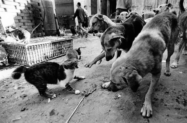 «Каирские коты». Автор Уолтер Ротуэлл (1)