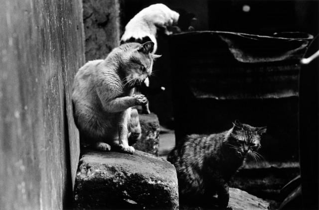 «Каирские коты». Автор Уолтер Ротуэлл (12)