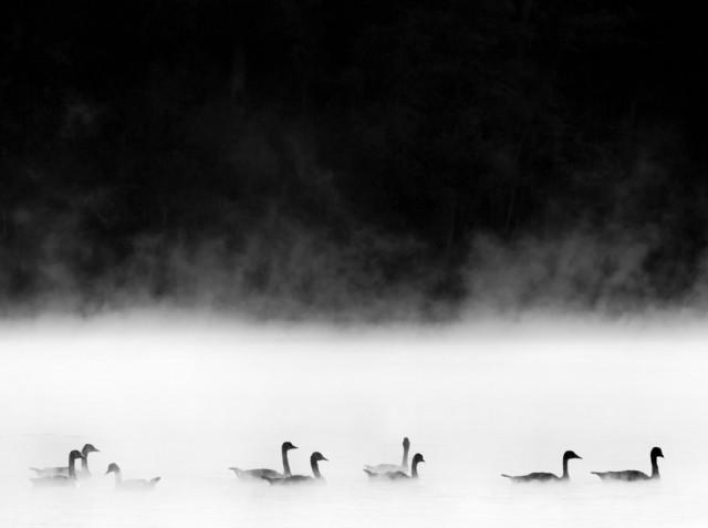 «Кенсингтонские гуси». Финалист в категории «Пейзаж и природа», 2020. Автор Дэвид Бартлетт