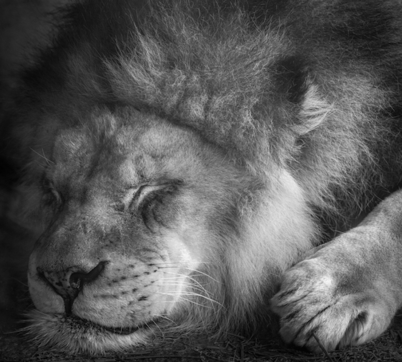 «Спящий лев». Финалист в категории «Люди и животные», 2020. Автор Дэвид Бартлетт