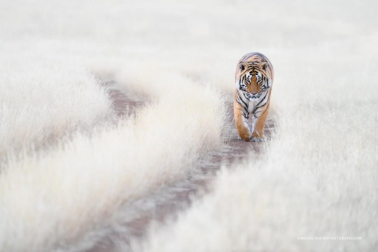 Особое упоминание в категории «Природа, морская жизнь, дикие животные», 2020. Тигр. Фотограф Марсель ван Оостен