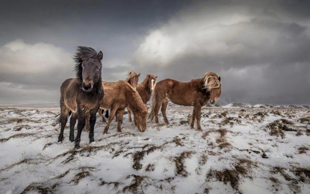 Высоко оценённое в категории «Туристическое портфолио», 2020. Лошади в Исландии. Фотограф Николас Распиенгеас